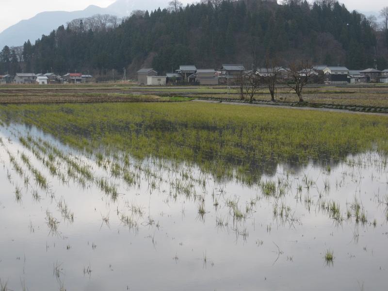 冬季湛水の田んぼの様子