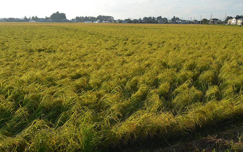 台風後の稲と稲刈り時期