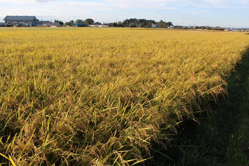 もう少しで稲刈り 10月下旬から高品質の米お届けします!!
