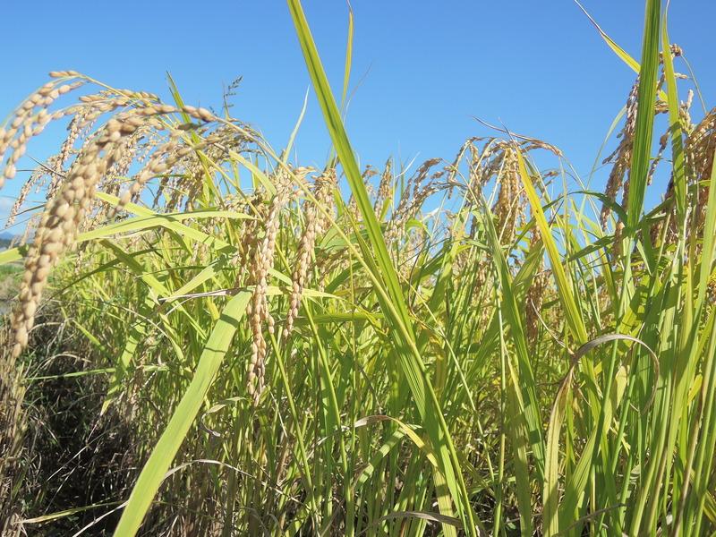 有機栽培さわのはな新米販売開始しました。