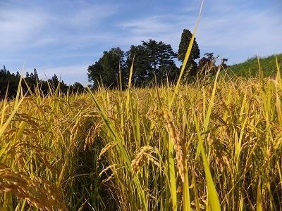 稲刈再スタートです。