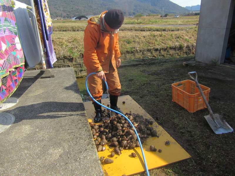 ふれあい市場に出荷する里芋の掘り出し。