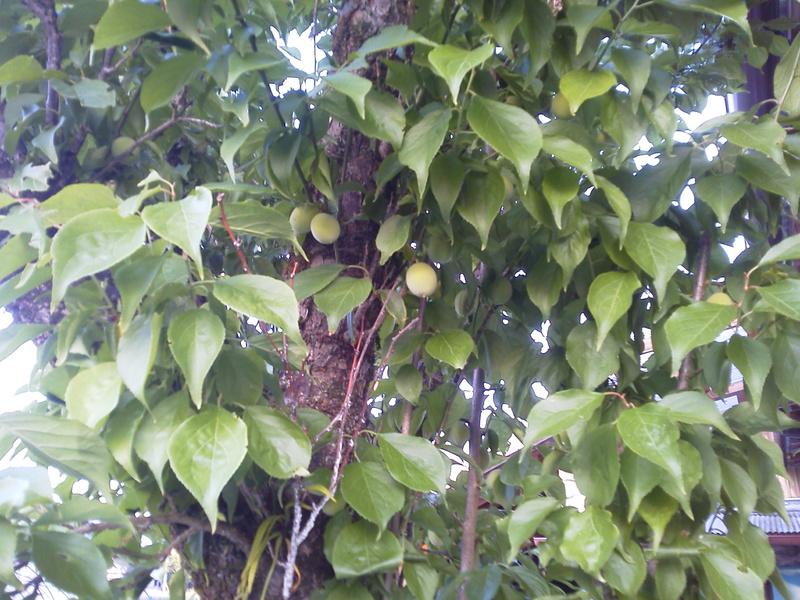 梅の実がつきました。