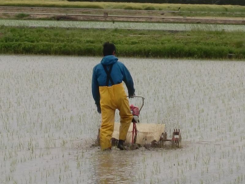 自然栽培米こしひかりの1回目の除草です(^o^)