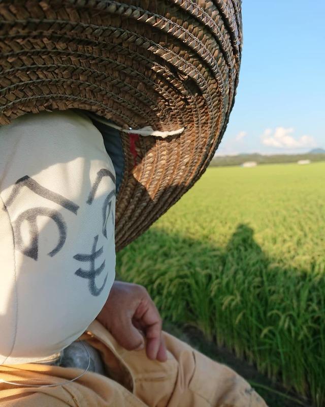 稲刈り開始まであと二週間