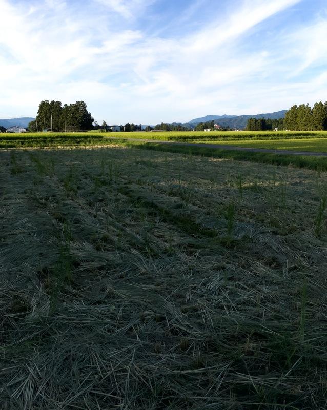 米沢牛の飼料米刈り入れ