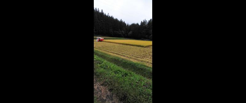 稲刈は続きます。
