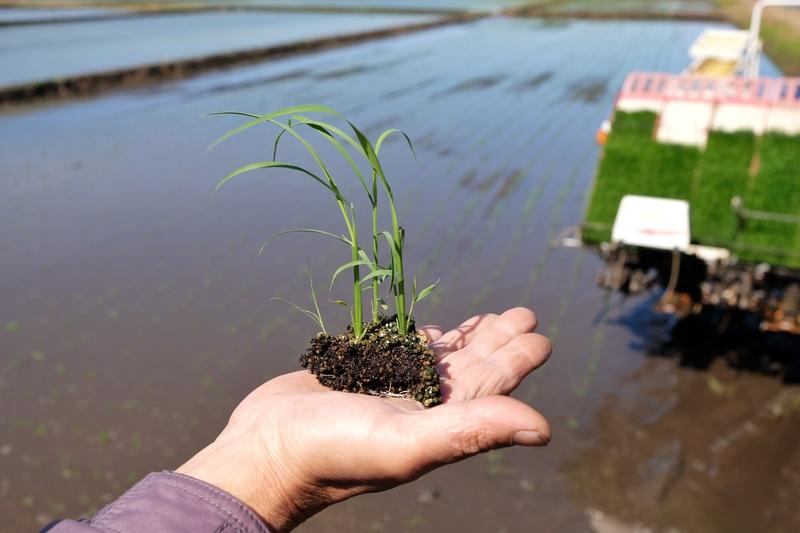 田植え真っ盛りの佐瀬農場