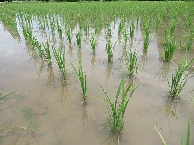 稲の生育状況!