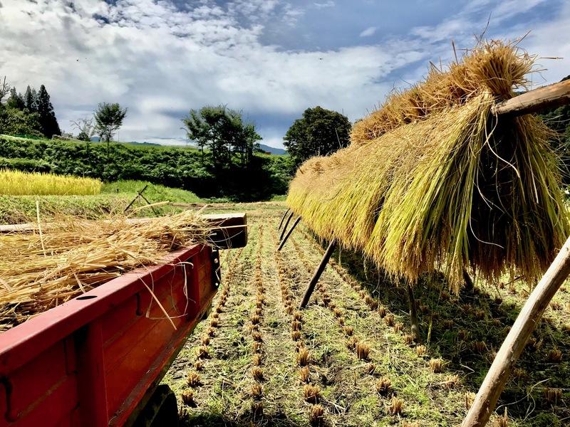 コシヒカリの稲刈が始まりました。