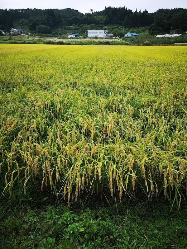 稲刈り始まります