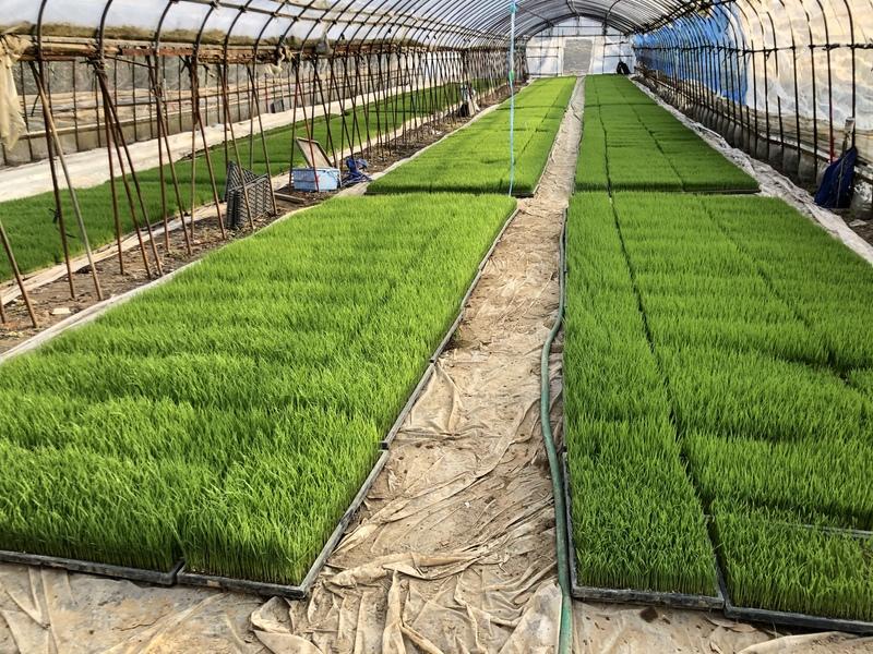 コシヒカリの苗が順調に成長しています。