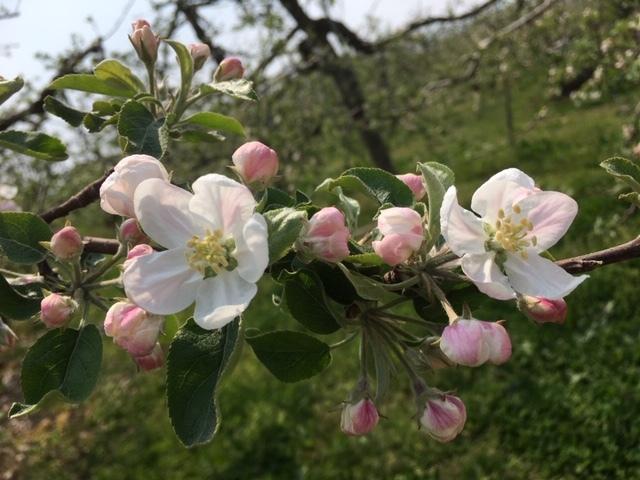 果樹の花畑(りんご)