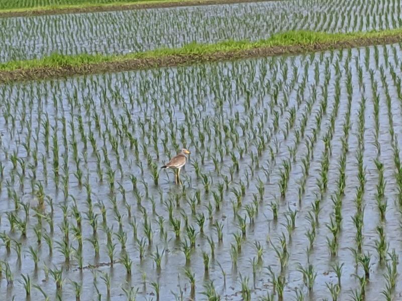 今年もジャンボタニシの被害が・・・。