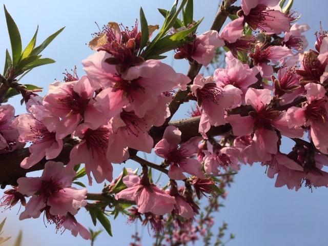 果樹の花畑(桃)