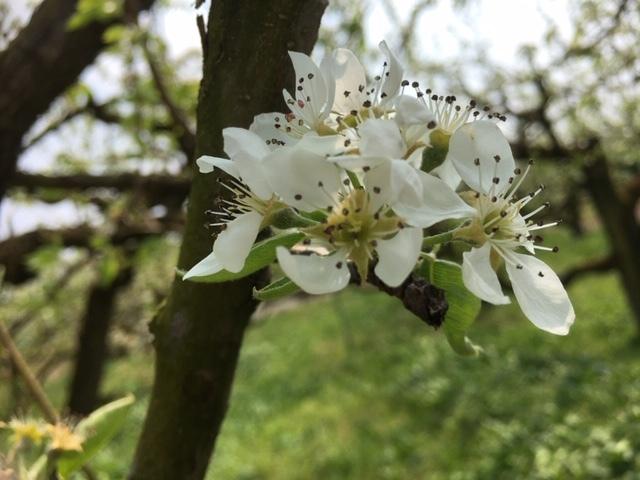 果樹の花畑(ラフランス)