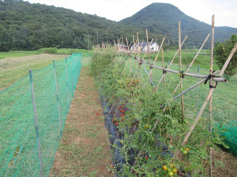 トマト畑の大掃除